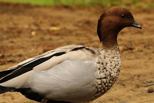 Aussie birds