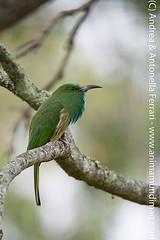 Blue-bearded bee-eater Nyctyornis athertoni