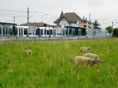 Sheep grazing near Metro stop, Renens