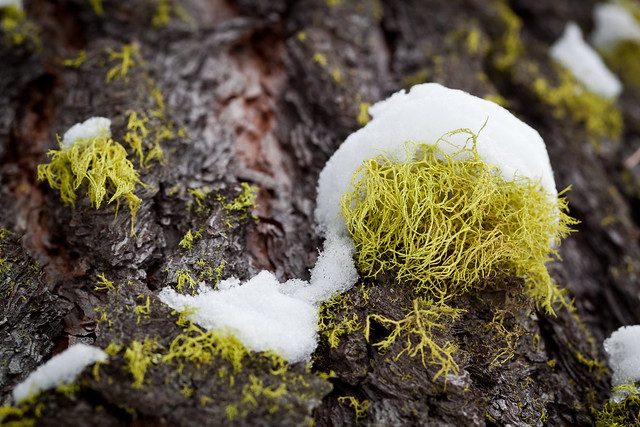 Snow-capped Lichen
