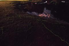 Firefly Larvae Trails