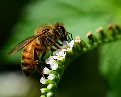 Honey Bee on a Scorpion-tail