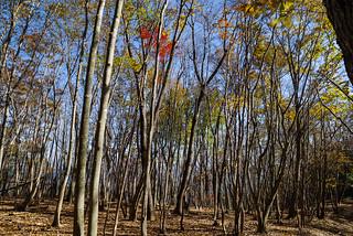 冬枯れ近い若木の樹林