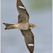 Common Nighthawk by BN Singh
