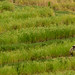 Jatiluwih, Indonesia - Rice Terrace by GlobeTrotter 2000
