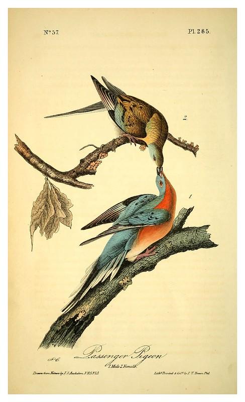 016-Paloma migratoria-Vol5-1840-The birds of America…J.J. Audubon