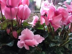flower(1.0), plant(1.0), flora(1.0), cyclamen(1.0), herbaceous plant(1.0), pink(1.0), petal(1.0),
