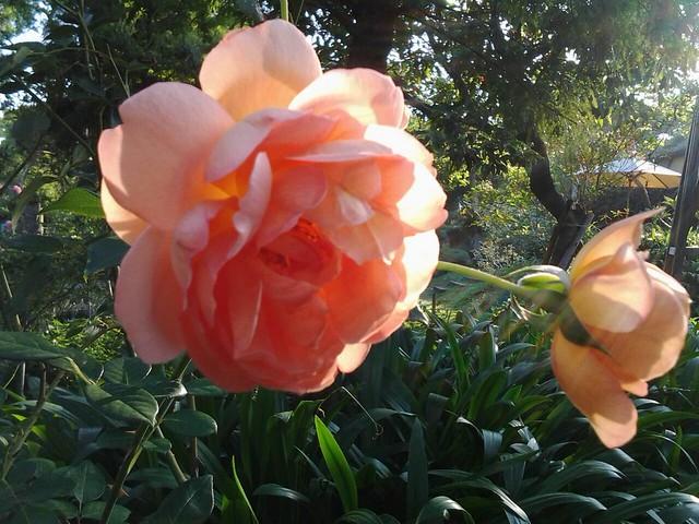 20718玫瑰花