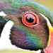 Wood Duck Close Up by U.S. Fish and Wildlife Service - Midwest Region