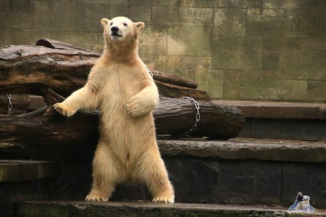 Eisbär Fiete im Zoo Rostock 17.10.2015  022