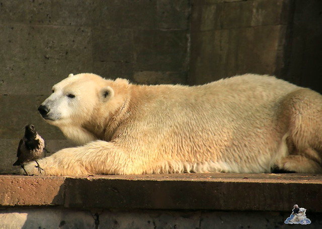 Eisbär Fiete im Zoo Rostock 31.10.2015 Teil 1  0167
