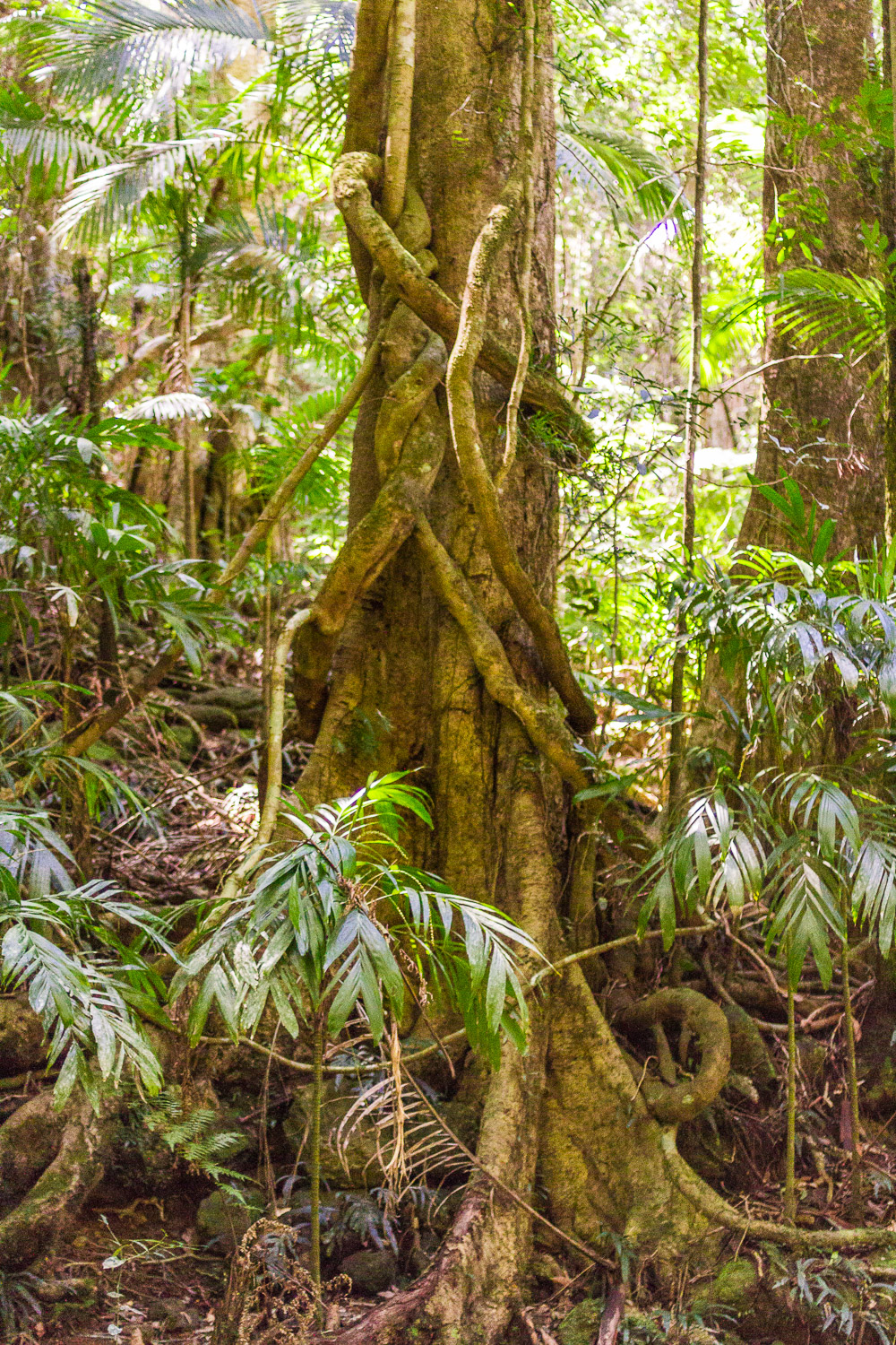twisted tree with vines growing around the trunk rainforest australia