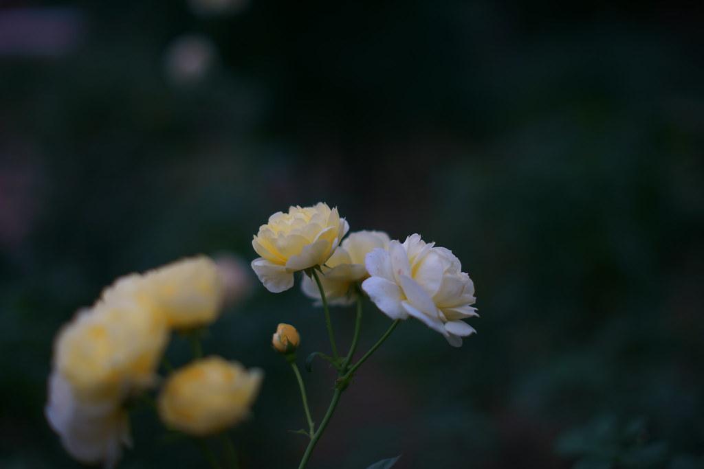 福岡市植物園のバラ