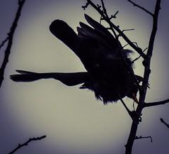 HolderBlackbird silloettes 3