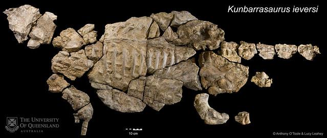 Australia's new dinosaur - Kunbarrasaurus ieversi