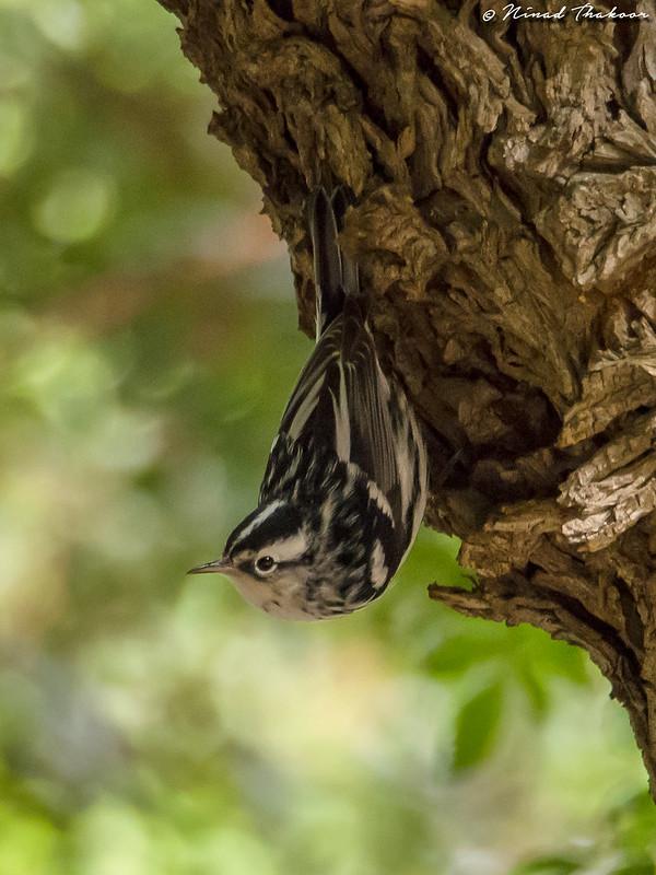 Black-and-white Warbler (UCR #175)