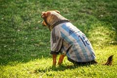 Perro callejero argentino