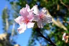 櫻花和梅花 '16