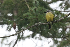 Tropical Kingbird - 10 Mile Point