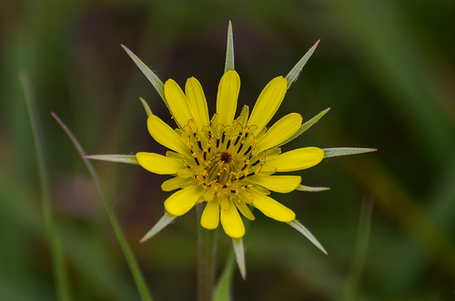 <p><i>Tragopogon dubius</i>, Asteraceae<br /> Iona Beach Regional Park, Richmond, British Columbia, Canada<br /> Nikon D5100, 70-300 mm f/4.5-5.6<br /> May 23, 2015</p>