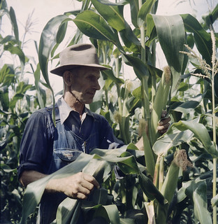 A farmer in the foreground examining the stalks and looking at some ears of corn on some very tall plants, Ontario /   Un cultivateur examine des plants de maïs plus hauts que lui (Ontario)