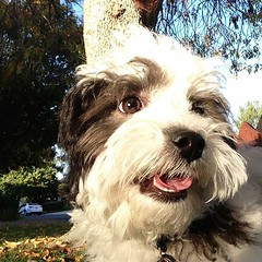 coton de tulear(0.0), dog breed(1.0), animal(1.0), dog(1.0), schnoodle(1.0), pet(1.0), lã¶wchen(1.0), polish lowland sheepdog(1.0), tibetan terrier(1.0), mammal(1.0), biewer terrier(1.0), havanese(1.0), lhasa apso(1.0), dandie dinmont terrier(1.0), bearded collie(1.0),