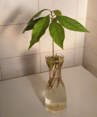 Avocadopflanze im Hyazinthenglas