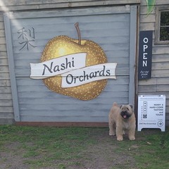 Perry cider here is lovely, along with the orchard and garden. And, yes, the dogs. #urbantoislandcider #waciderweek @nwcider