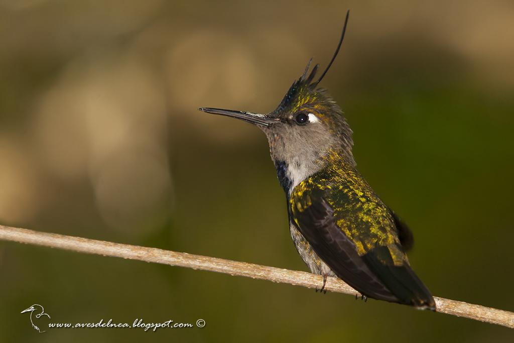 Picaflor copetón (Black breasted-Plovercrest) Stephanoxis loddigesii
