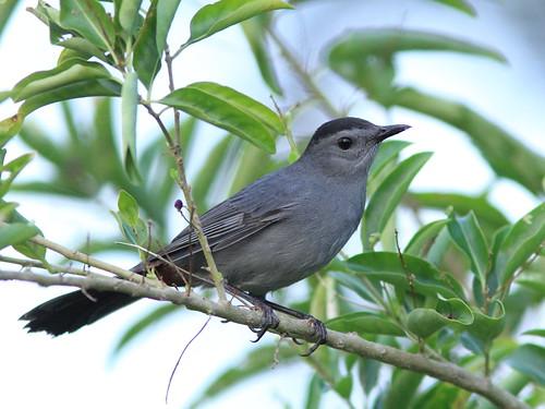 Gray Catbird 2-20151018