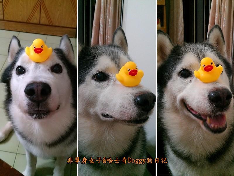 哈士奇doggy與啾啾玩具黃色小鴨05