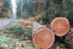 1. November 2015 - 16:19 - Holzernte Baumstamm 3