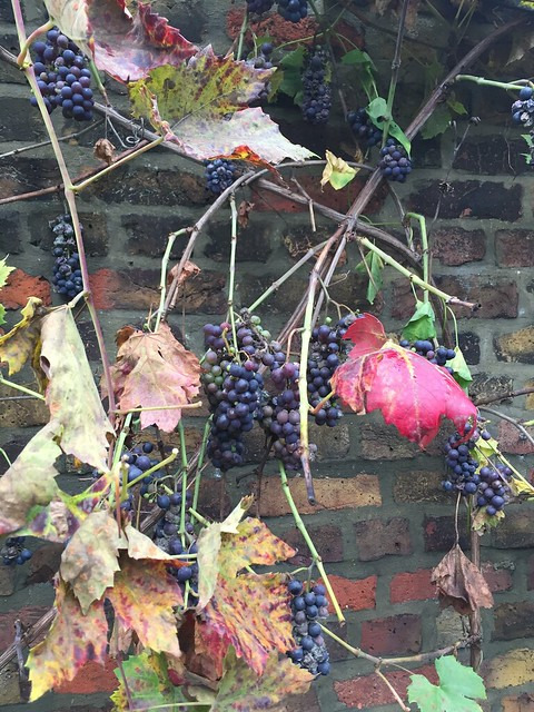 Grape vine on the wall