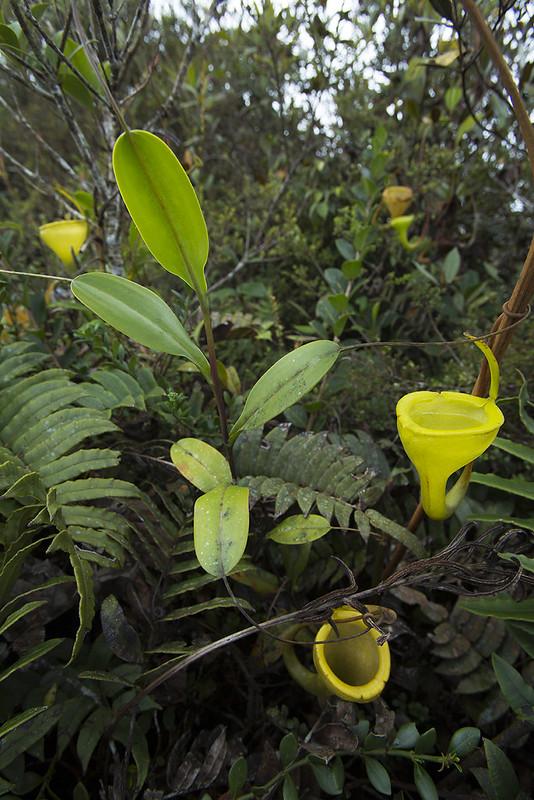Carnivores et orchidées in situ  23269549815_2a71d234bd_c