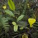 Nepenthes jamban by Arddu