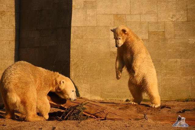 Eisbär Fiete im Zoo Rostock  0328
