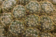 Cactus tangle