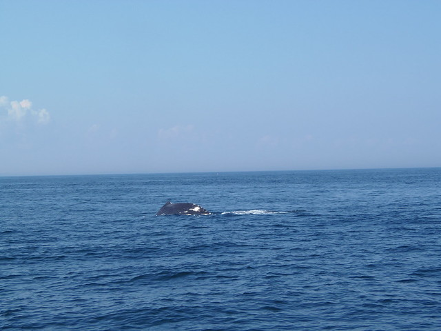 Patches the humpback whale's back