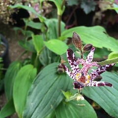 Toad lily.