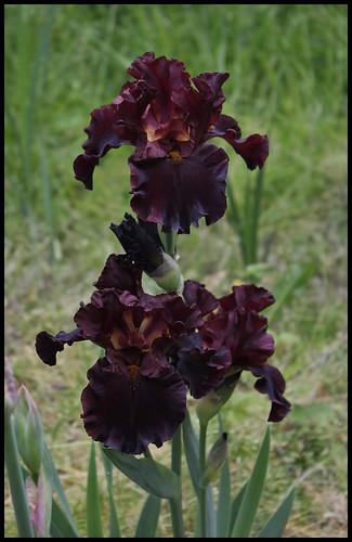 Iris Raptor Red (5)