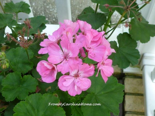 Late August Garden - begonia
