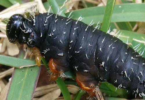 Steel blue sawfly larvae