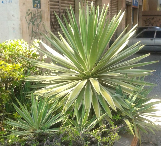 Header of Agave angustifolia