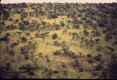 Giraffa camelopardalis giraffa DT [ZA Hluhluwe] 0112 (1)