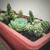 For the Titas in all of us, @ylaya_ryo's tiny forest of succulents. #home #gardening #succulents #cacti