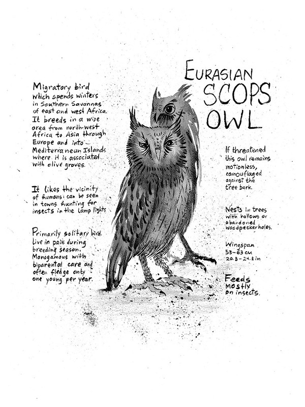 Owls_15_Eurasian_Scops