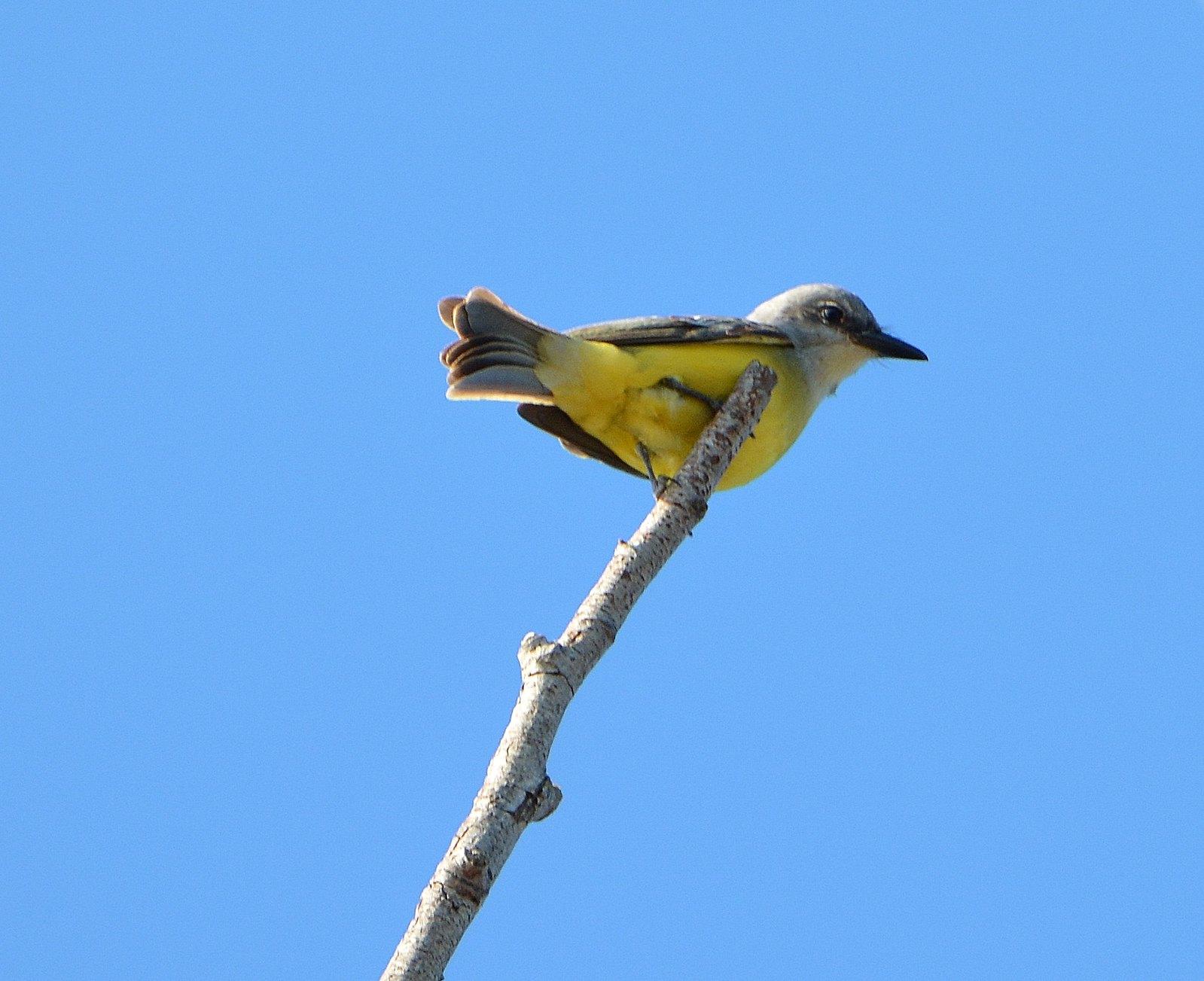 Tropical Kingbird (Record Photo)