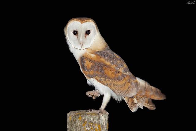 Coruja-das-torres, Barn Owl (Tyto alba) - em Liberdade  [WildLife]