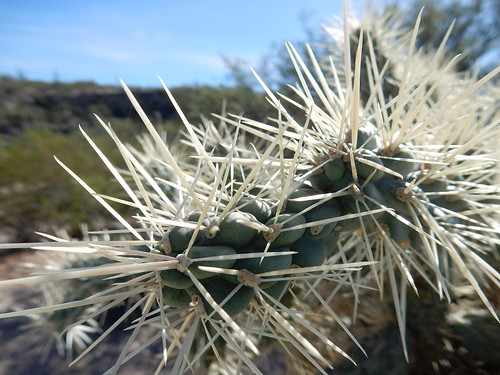 Saguaro NP - chain-fruit cholla