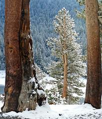 New Growth, Yosemite 5-15